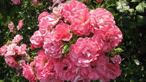 стихи про девочку Сашу и розу